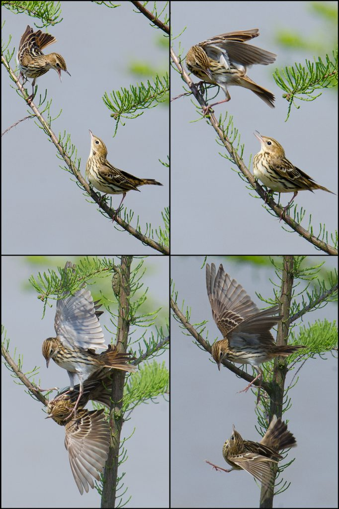 Pechora Pipit sparring, Nanhui, 1 May 2016. This is just one instance of aggressive behavior being displayed by Pechoras. We noted 6 Pechoras singing, and we watched a Pechora drive an endangered Yellow-breasted Bunting from a perch.