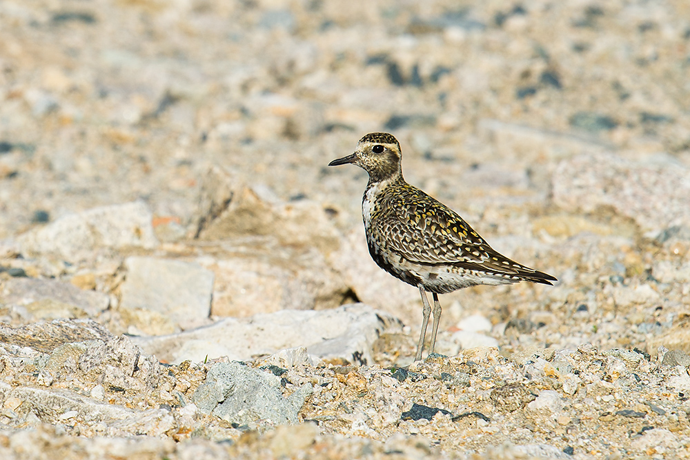 Pacific Golden Plover, Lesser Yangshan Island, 30 April 2016.