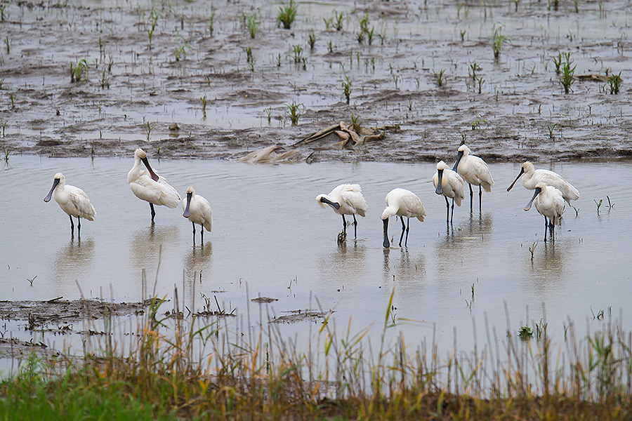 9 endangered Black-faced Spoonbill make use of a pond a stone's throw from the sea-wall road at Nanhui. The rainy day depressed the numbers of tourists and made Nanhui quieter, giving these sub-adults a much-needed opportunity to chill out.