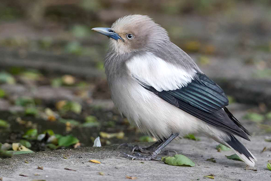 White-shouldered Starling Sturnia sinensis, Nanhui, 3 May 2016. Photo by Kai Pflug.