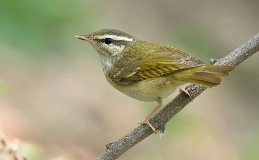 Pale-legged/Sakhalin Leaf Warbler Phylloscopus tenellipes/borealoides, Yangkou, Rudong, Jiangsu, China, 1 May 2014. Some authors note minor differences in plumage and bare parts, but the features overlap, making non-singing Pale-legged and Sakhalin virtually indistinguishable in the field. The species pair is distinguishable from other leaf warblers by their very pale, pink legs. The species pump the tail steadily and often cling to tree trunks, somewhat like a nuthatch. Pale-legged breeds in the Russian Far East and northeast China; Sakhalin breeds on Sakhalin Island and in Japan.