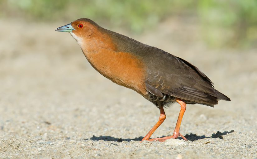 Band-bellied Crake, 8 June 2016, Boli, Heilongjiang, China. Photo by Craig Brelsford.