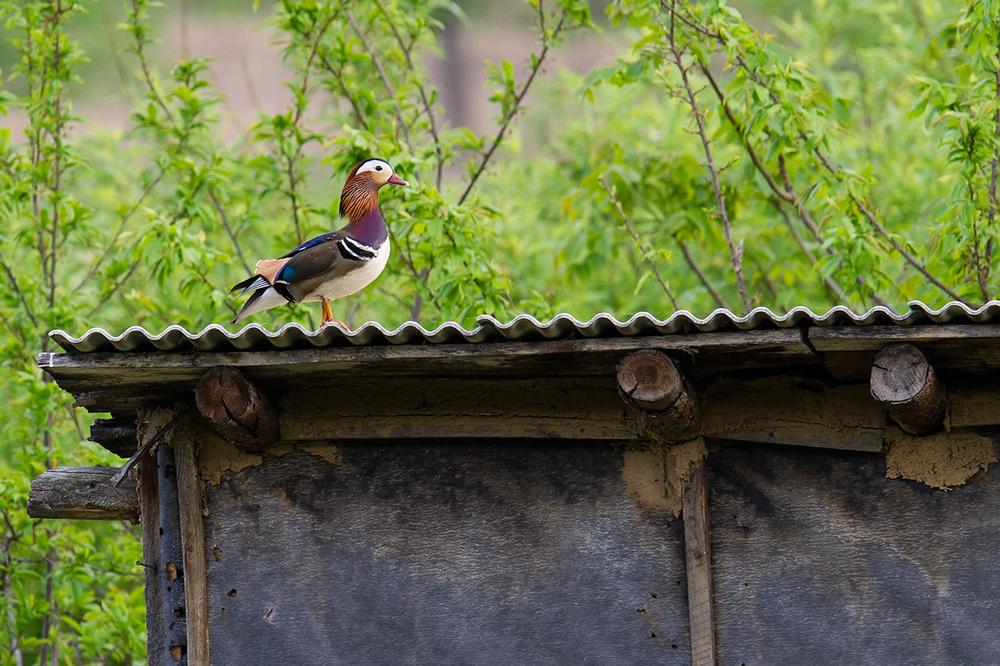 Mandarin Duck atop a shed, 28 May 2016.