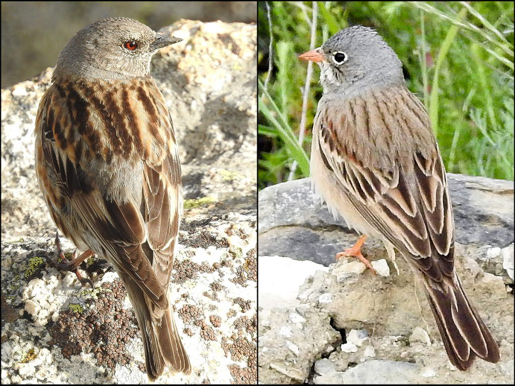 Altai Accentor (L) and Ortolan Bunting, 5 June 2016. In China, Altai Accentor occurs in the Altai Mountains and Tianshan in Xinjiang and Tibet. Ortolan Bunting ranges from the Western Palearctic east to the mountainous regions of Xinjiang. Photos by John MacKinnon.