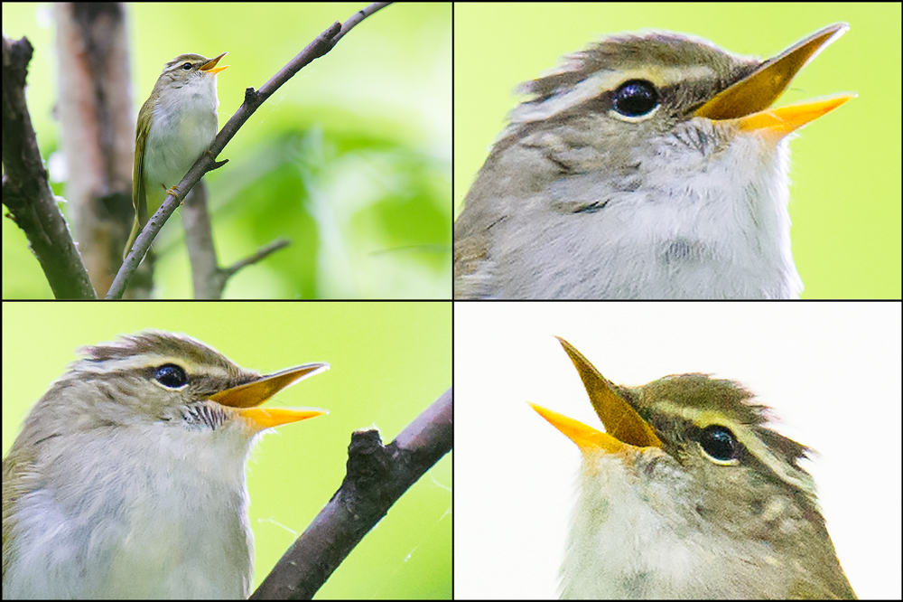 Eastern Crowned Warbler, Xidaquan National Forest, 29 May 2016.