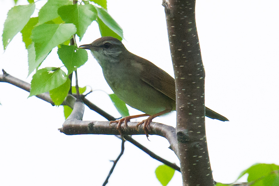 Gray's Grasshopper Warbler on rare foray out of undergrowth. Xidaquan, 29 May 2016.