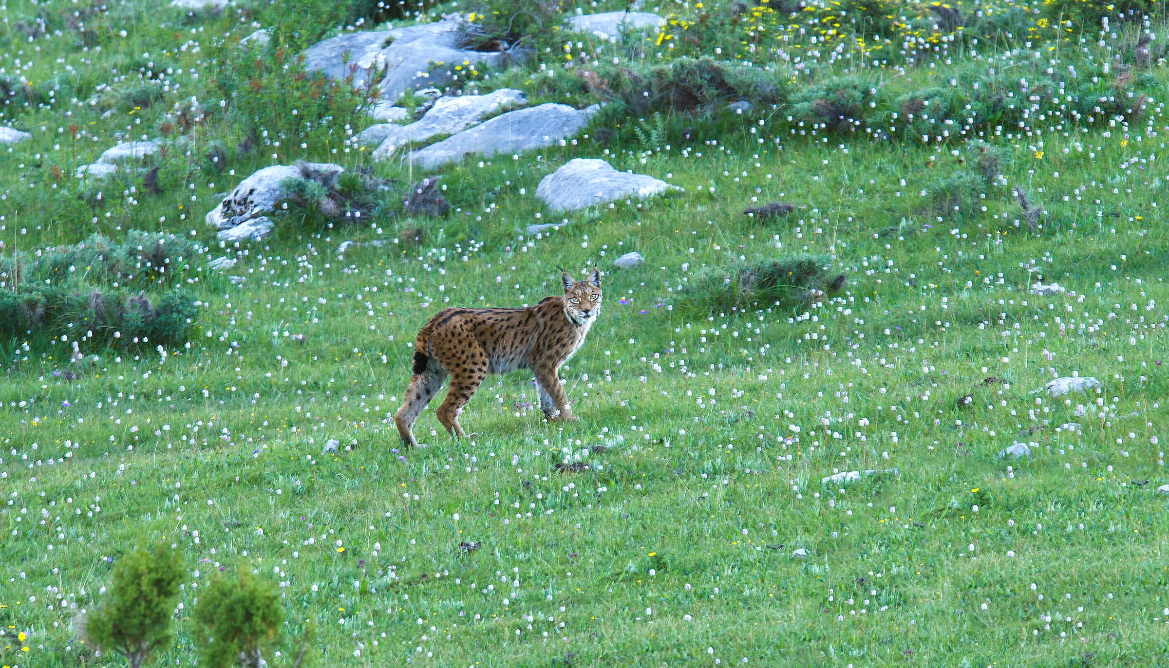 Tibetan Lynx (Lynx lynx isabellinus), Kanda Mountain, Yushu Prefecture, Qinghai, China. 14 July 2016. Elev. 4550 m.