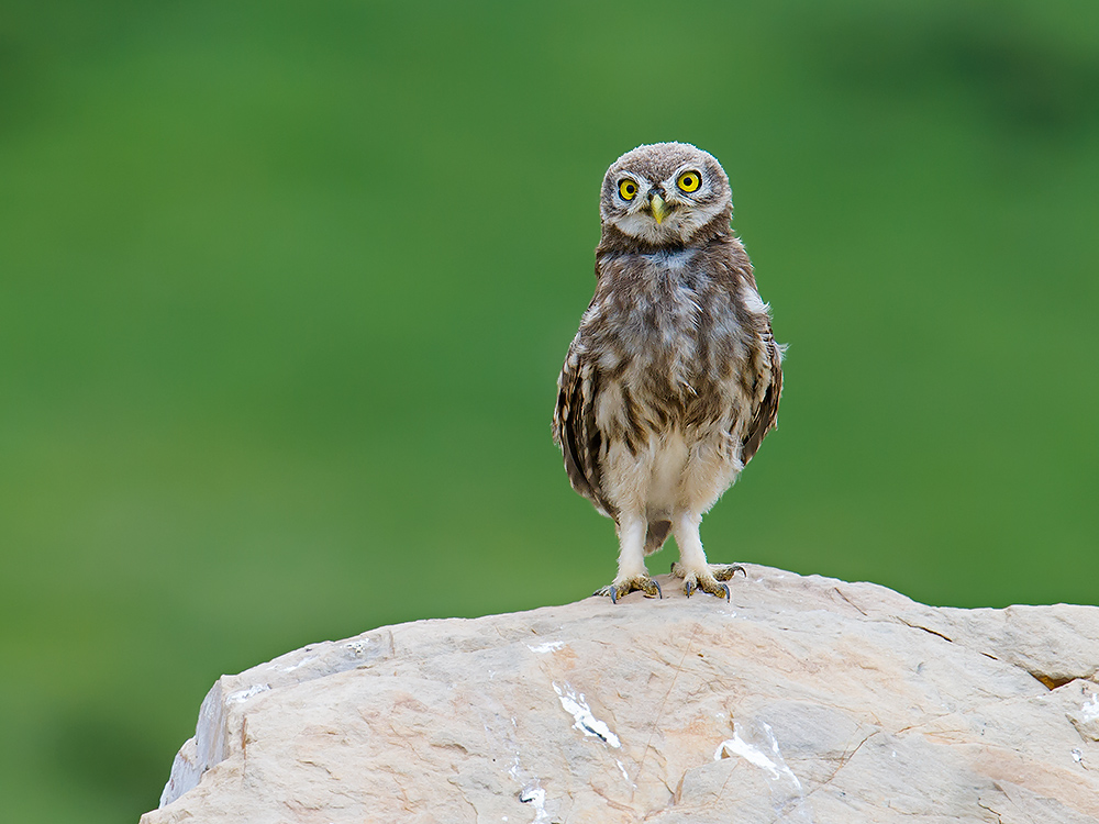 Little Owl stands at attention below Yankou Shan, 18 July 2016. Elev. 4430 m.