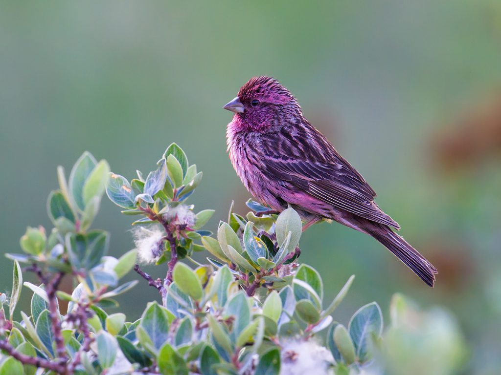 Himalayan Beautiful Rosefinch, Kanda Mountain, elev. 4350 m. 15 July 2016.