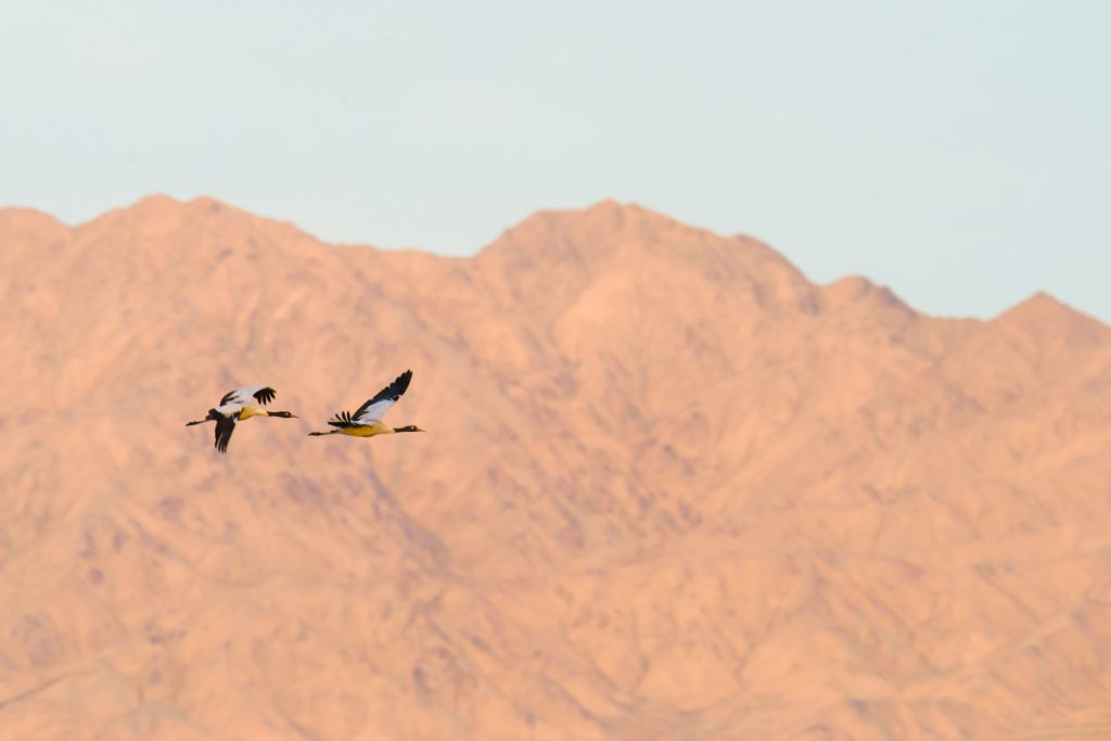 Black-necked Crane in flight, Lake Xiligou.