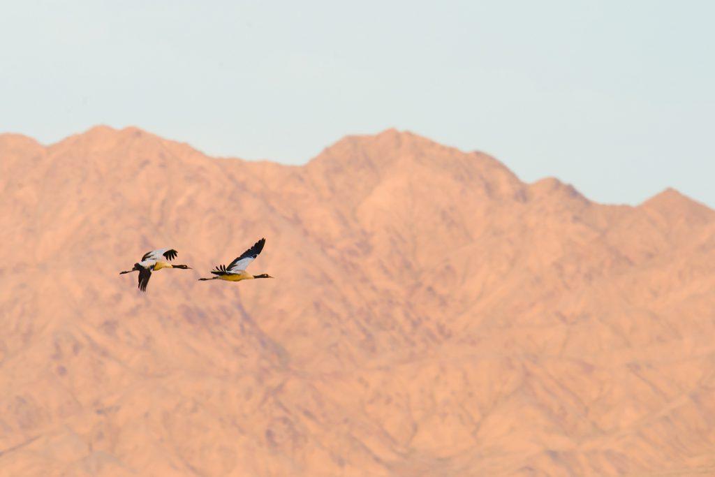 Black-necked Crane in flight, Lake Xiligou.