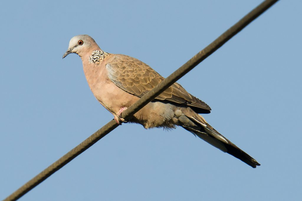 Unusual record of Spotted Dove in Qilian County, Haibei Prefecture, 1 Aug. 2016.