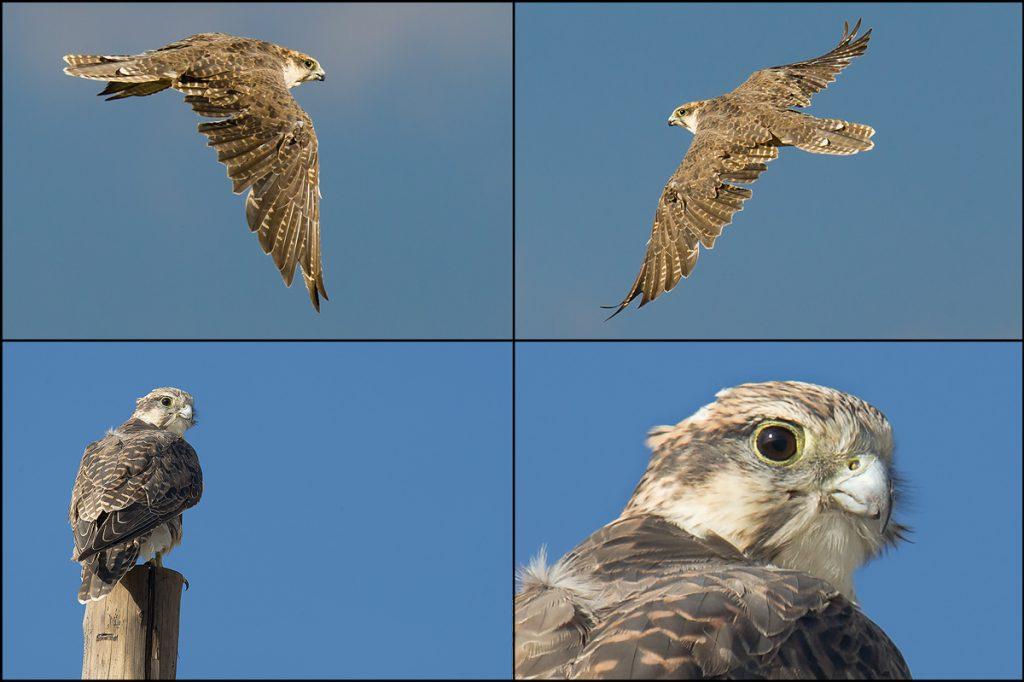 King of the high-country falcons: Saker Falcon <em>Falco cherrug</em>, 6 Aug. 2016.