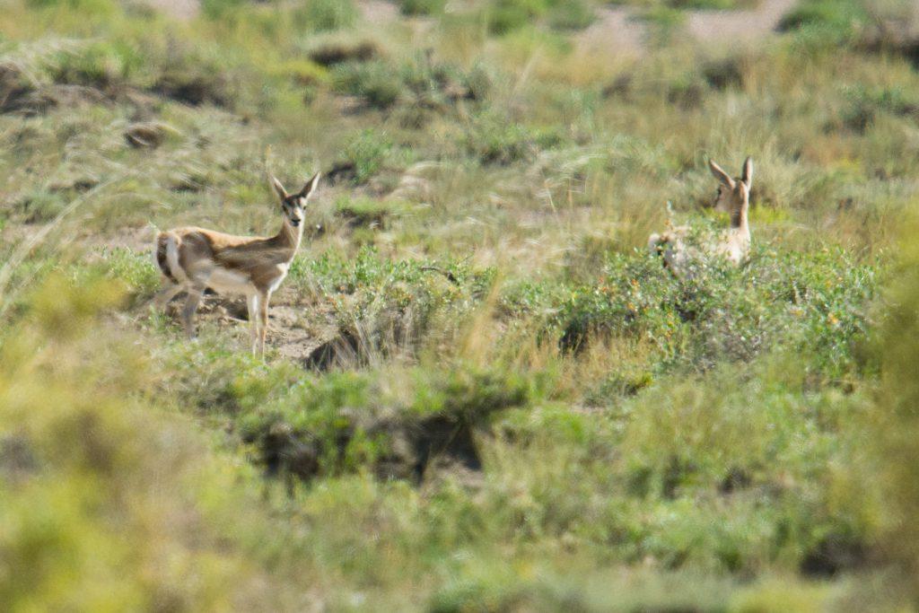 Goitered Gazelle near Lake Xiligou, Wulan County, 16 Aug. 2016.
