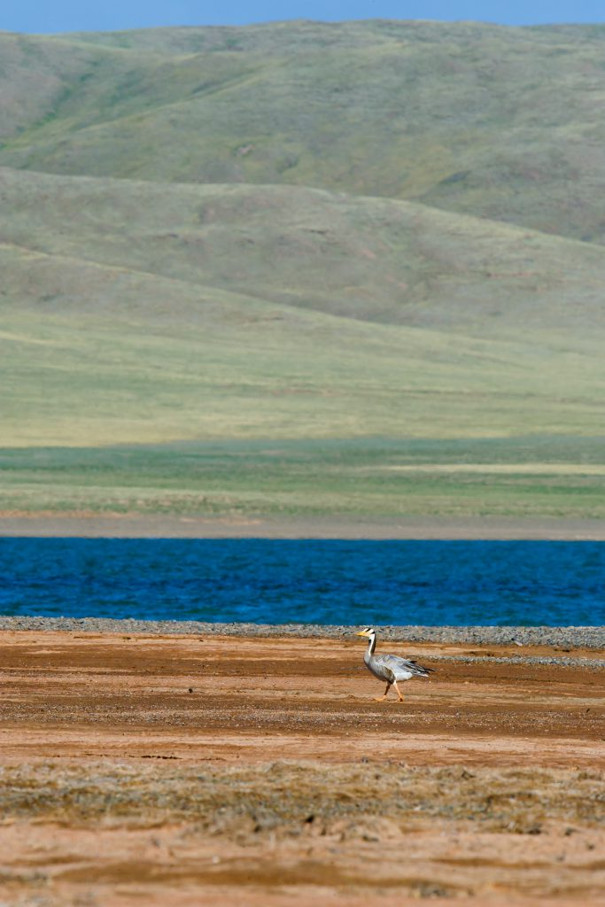 Bar-headed Goose stands at the point where high-altitude Eling Lake empties into the young Yellow River. 3 July 2016.