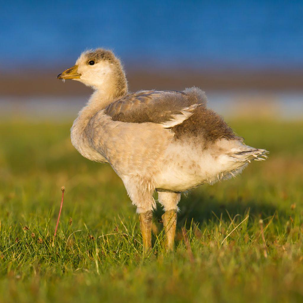 Bar-headed Goose, Qinghai Lake, 28 June 2016. F/7.1, 1/800, ISO 1600.
