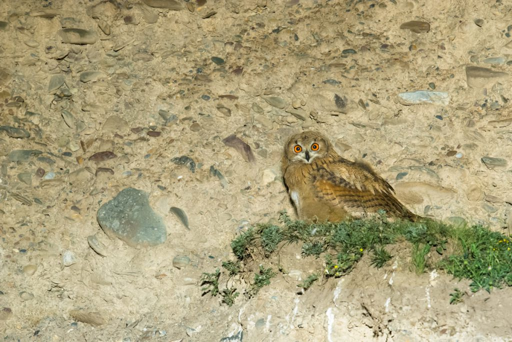 Eurasian Eagle-Owl at cliff-side roost in Haibei Prefecture, Qinghai, 30 July 2016.