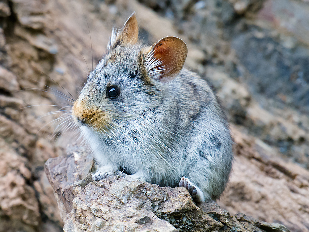 Glover's Pika, Yushu Prefecture, 4 July 2016.