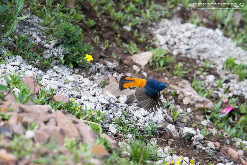 Blue-fronted Redstart showing inverted T on tail. Huzhu Beishan, 27 June 2016.