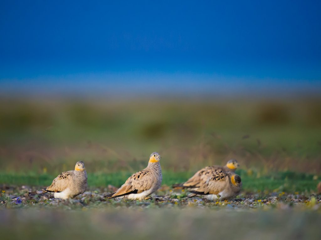 Tibetan Sandgrouse, Hala Lake, Haixi Prefecture, 10 Aug. 2016.
