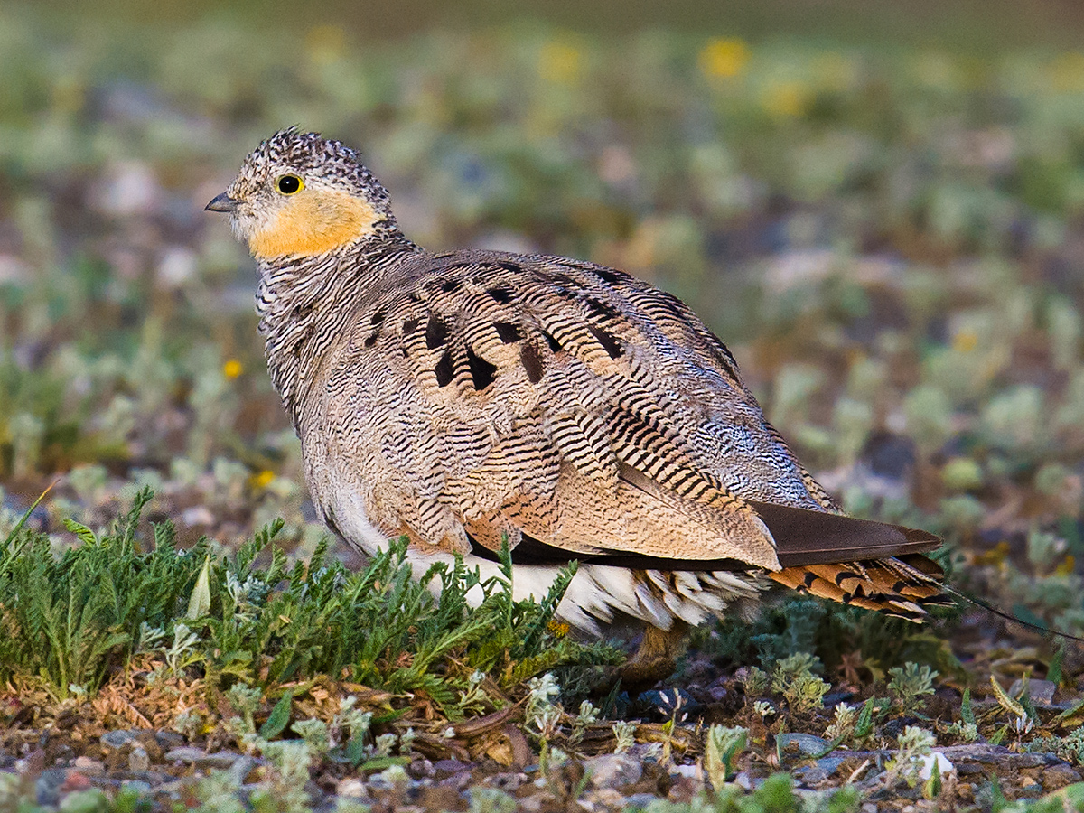 Tibetan Sandgrouse, Hala, 10 Aug.