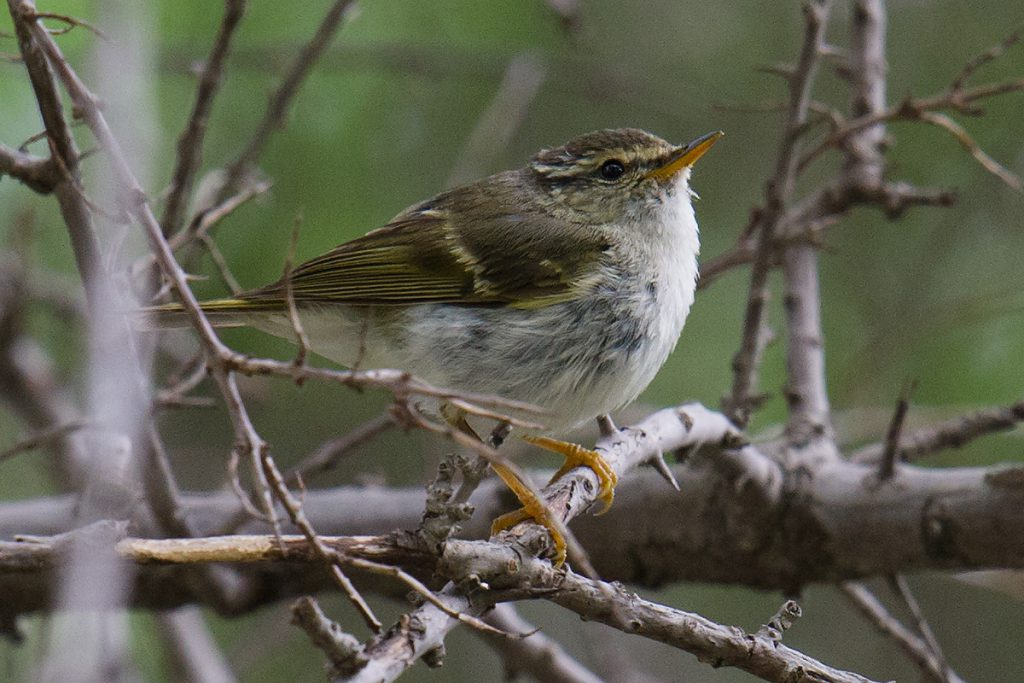 Gansu Leaf Warbler, riparian forest along Heihe River, Qilian County, Haibei Prefecture, 4 Aug. 2016.