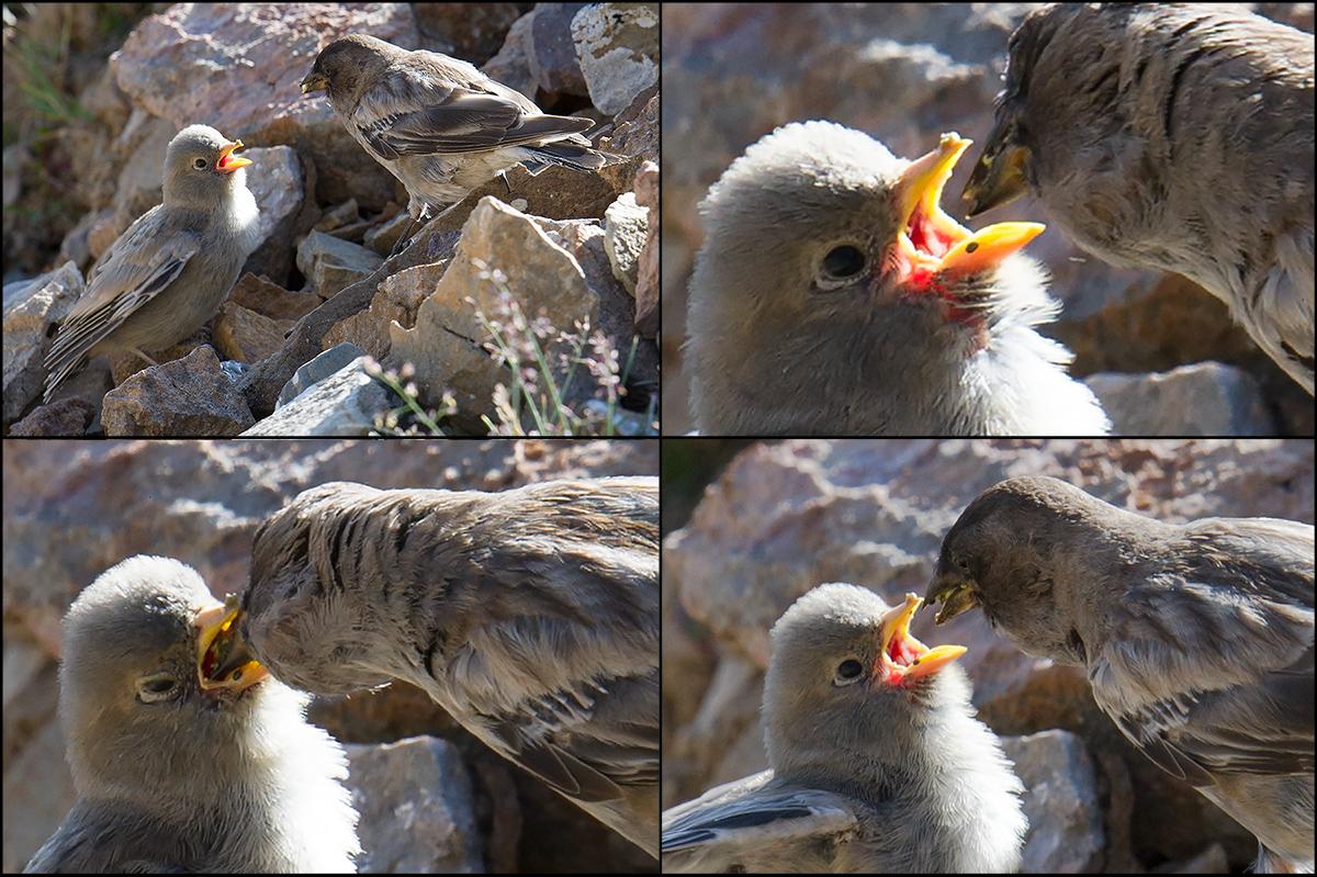 Brandt's Mountain Finch feeding young, near Hala Lake, Qinghai. 9 Aug. 2016.