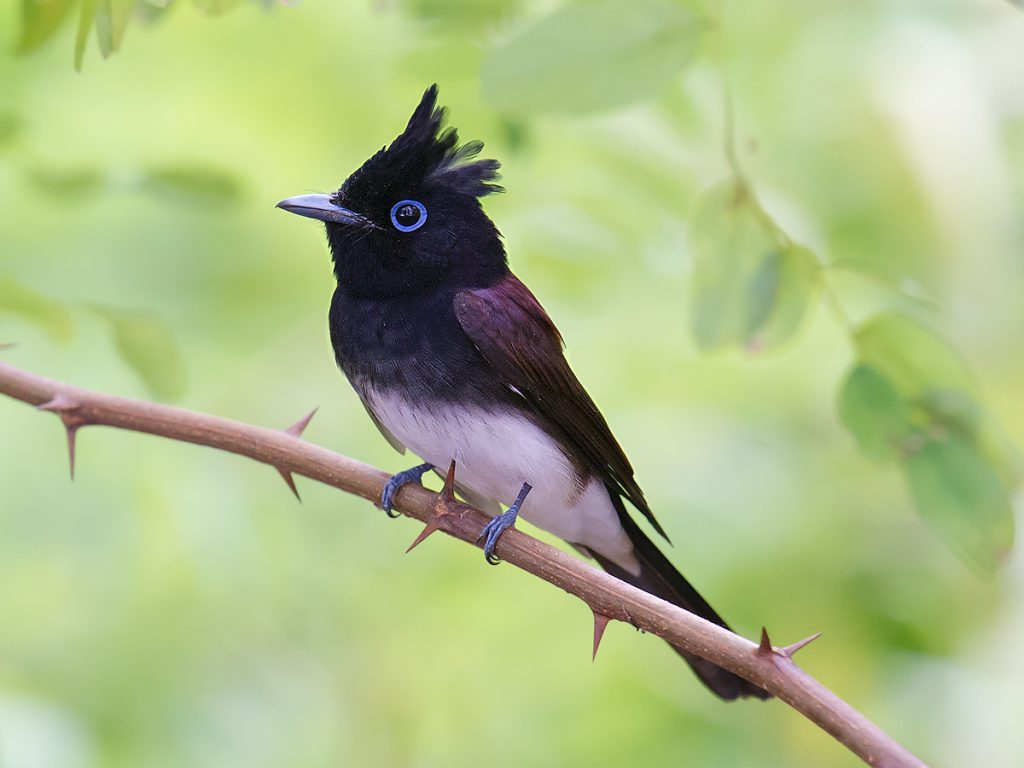 Japanese Paradise Flycatcher Terpsiphone atrocaudata is the most numerous member of its genus to pass through the Shanghai region. Amur Paradise Flycatcher Terpsiphone incei also passes through, but in smaller numbers.