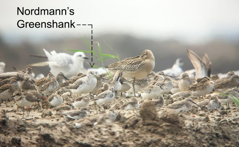 Your Handy-Dandy Nordmann's Greenshank ID Primer!
