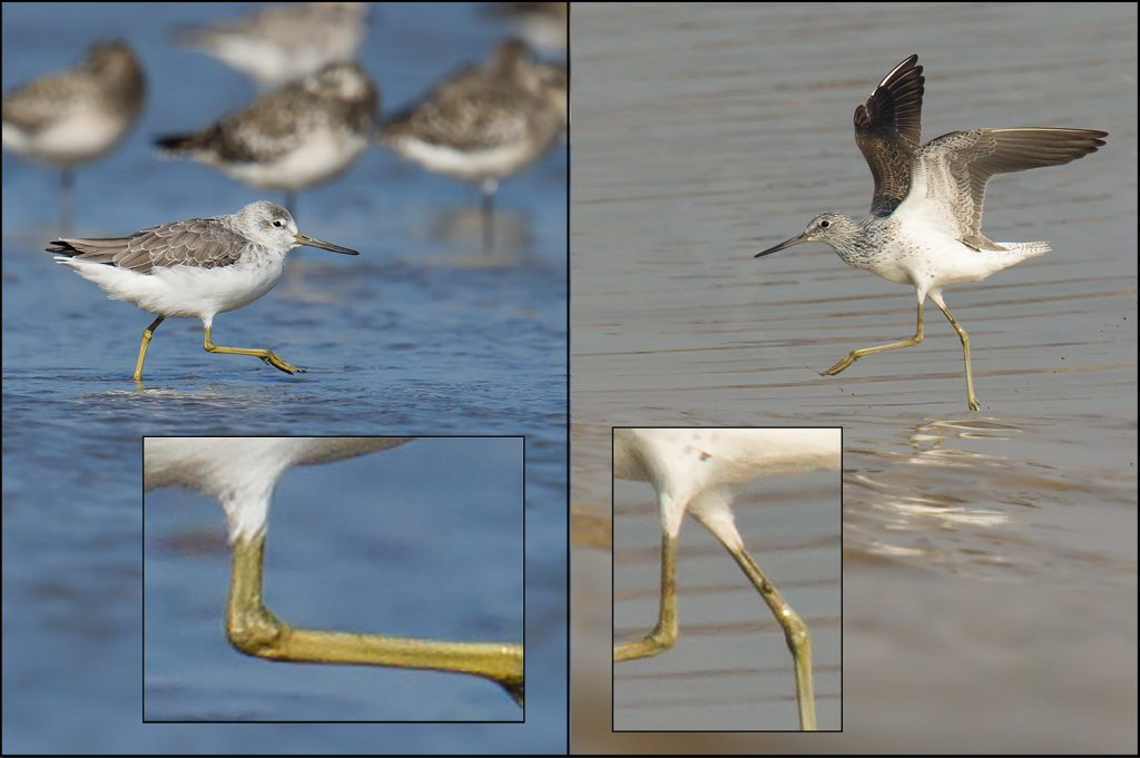 Nordmann's Greenshank (L) has an appreciably higher 'knee' than the longer- and thinner-legged Common Greenshank (R). Both photos taken by Craig Brelsford in Yangkou, Rudong, Jiangsu in October 2014 (Nordmann's) and May 2011 (Common).