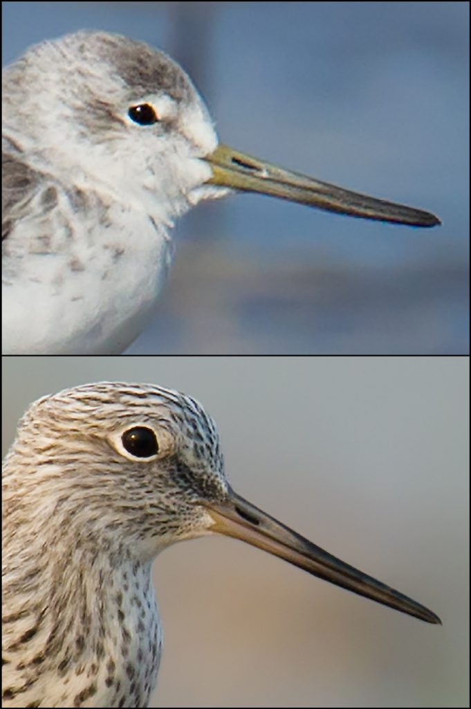 As is the case with the legs, the bill of Nordmann's (top) is thicker than the bill of Common (bottom). The more obviously bi-colored bill of Nordmann's is yellow at the base.
