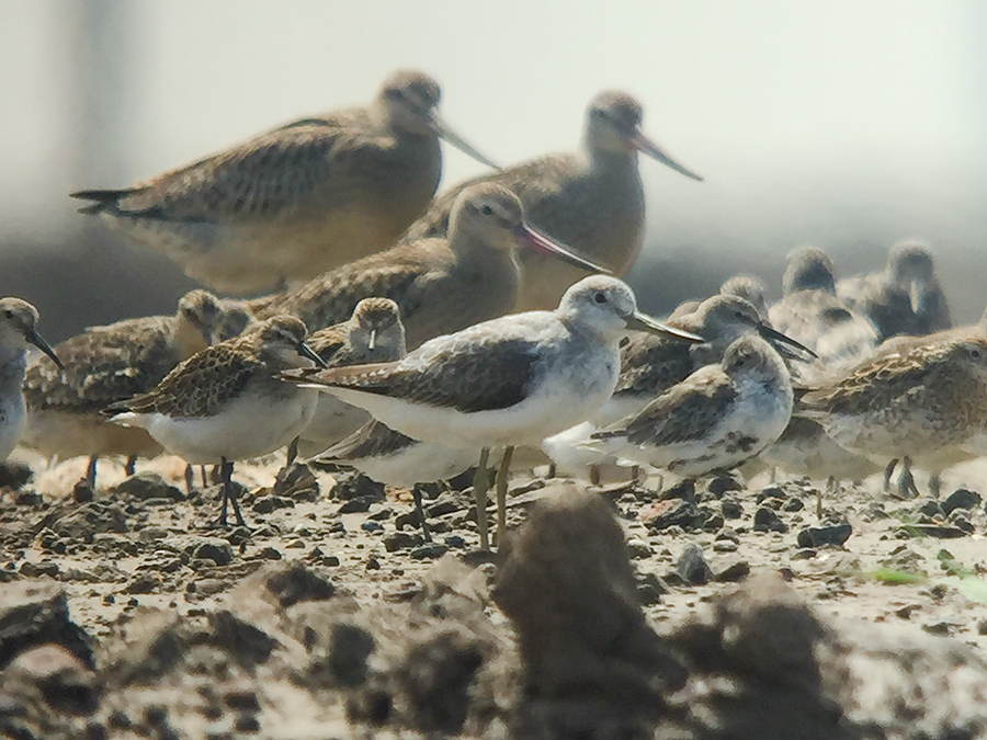 Nordmann's Greenshank stands among waders at a dry roost in Nanhui, Shanghai, Sat. 17 Sept. 2016. Note the high 'knee,' obviously bi-colored bill, and hunched stance. Photo by Komatsu Yasuhiko using Kowa TSN 883 Prominar spotting scope and Kowa TSN IP6 adapter and Craig Brelsford's iPhone 6.
