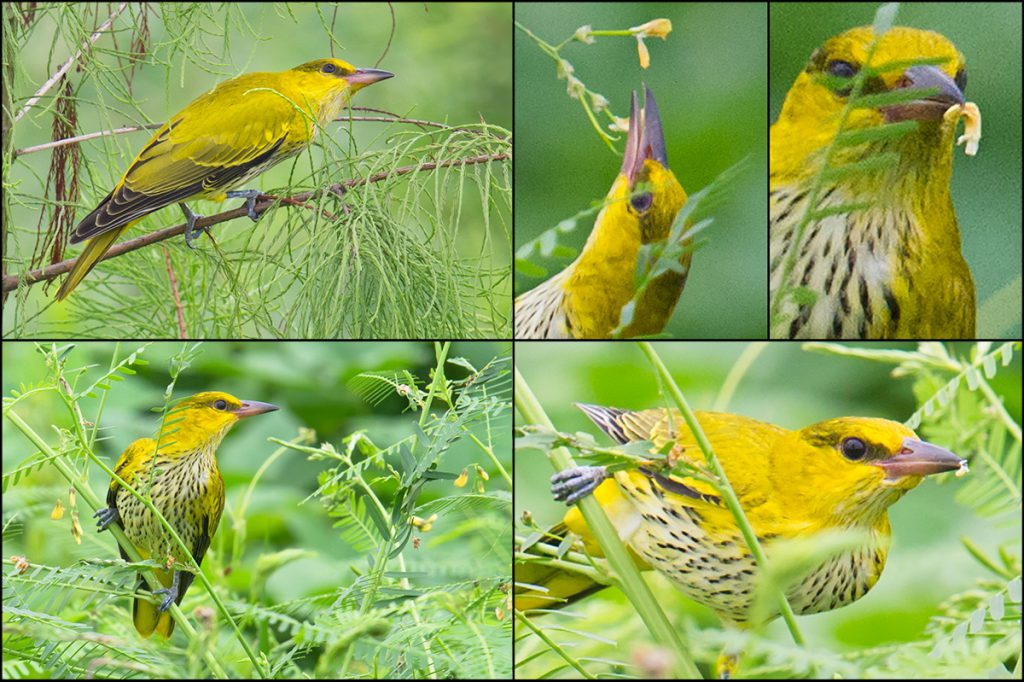 This Black-naped Oriole, one of eight we found Sunday at Nanhui, was in full migration mode and very hungry. A forest dweller, Black-naped Oriole is usually among the shyest of birds, but this juvenile was foraging in the open and allowed us to approach while it searched frantically for food. It even sampled a flower petal!