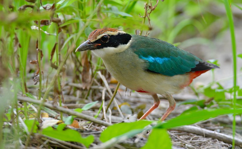 Fairy Pitta, Nanhui Microforest 2, Sun. 4 Sept. 2016. Photo by Komatsu Yasuhiko using Nikon D7100 + Tamron 150-600 F/5.6, F/6, 1/100, ISO 640. Komatsu Yasuhiko is contributor to shanghaibirding.com. A native of Japan, Hiko is a sophomore at Shanghai High School International Division.