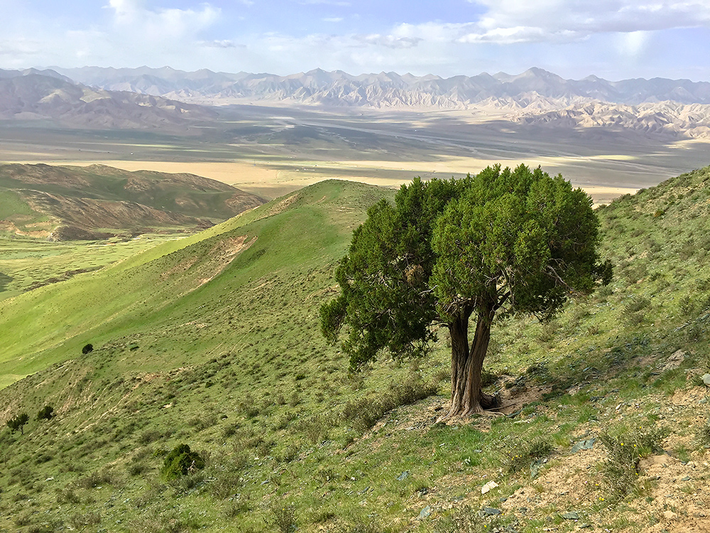 Proud and strong, this Chinese Juniper Juniperus chinensis has gazed out at the Dulan Mountains for 200 years. It clings firmly to the slope at elevation 3960 m.