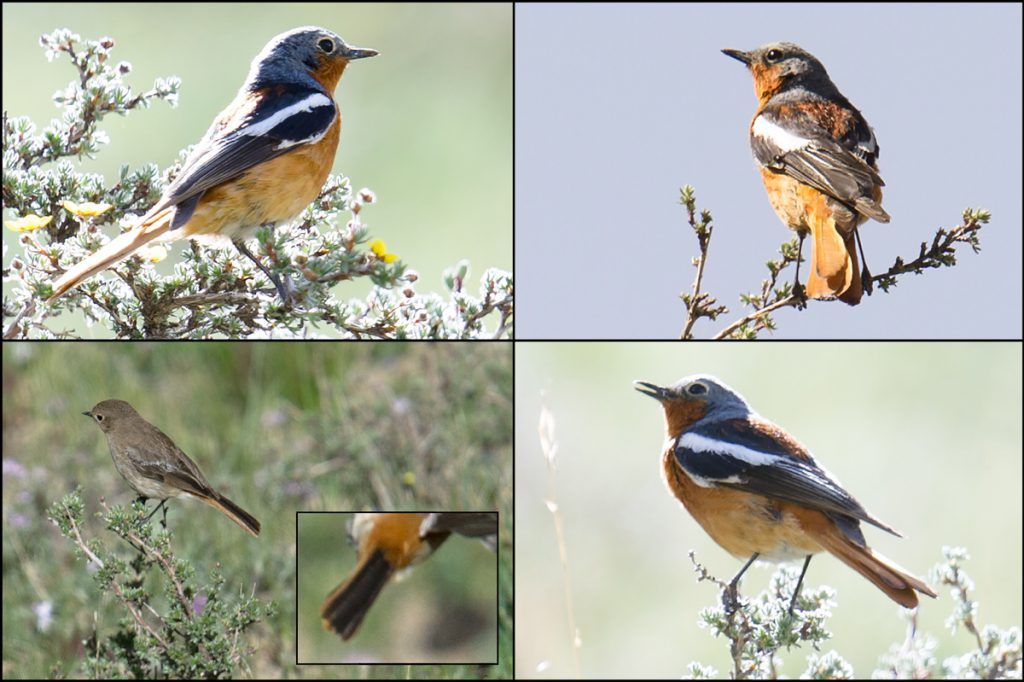 Przevalski's Redstart, Dulan Mountains, 1 July 2016. Elev. 3820 m. We found a pair, both of which are shown here. Note the all-black tail of the female.