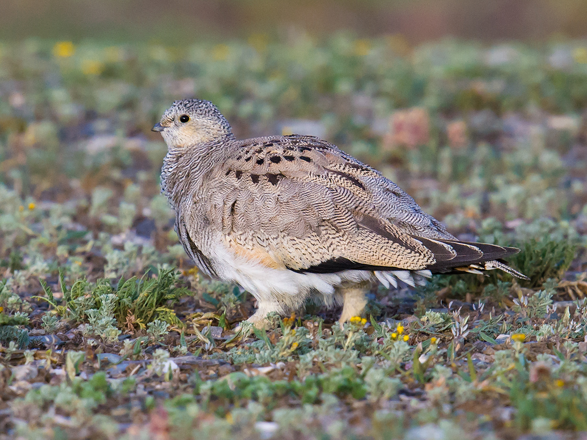 Juvenile Tibetan Sandgrouse, Hala Lake, 10 Aug. 2016.