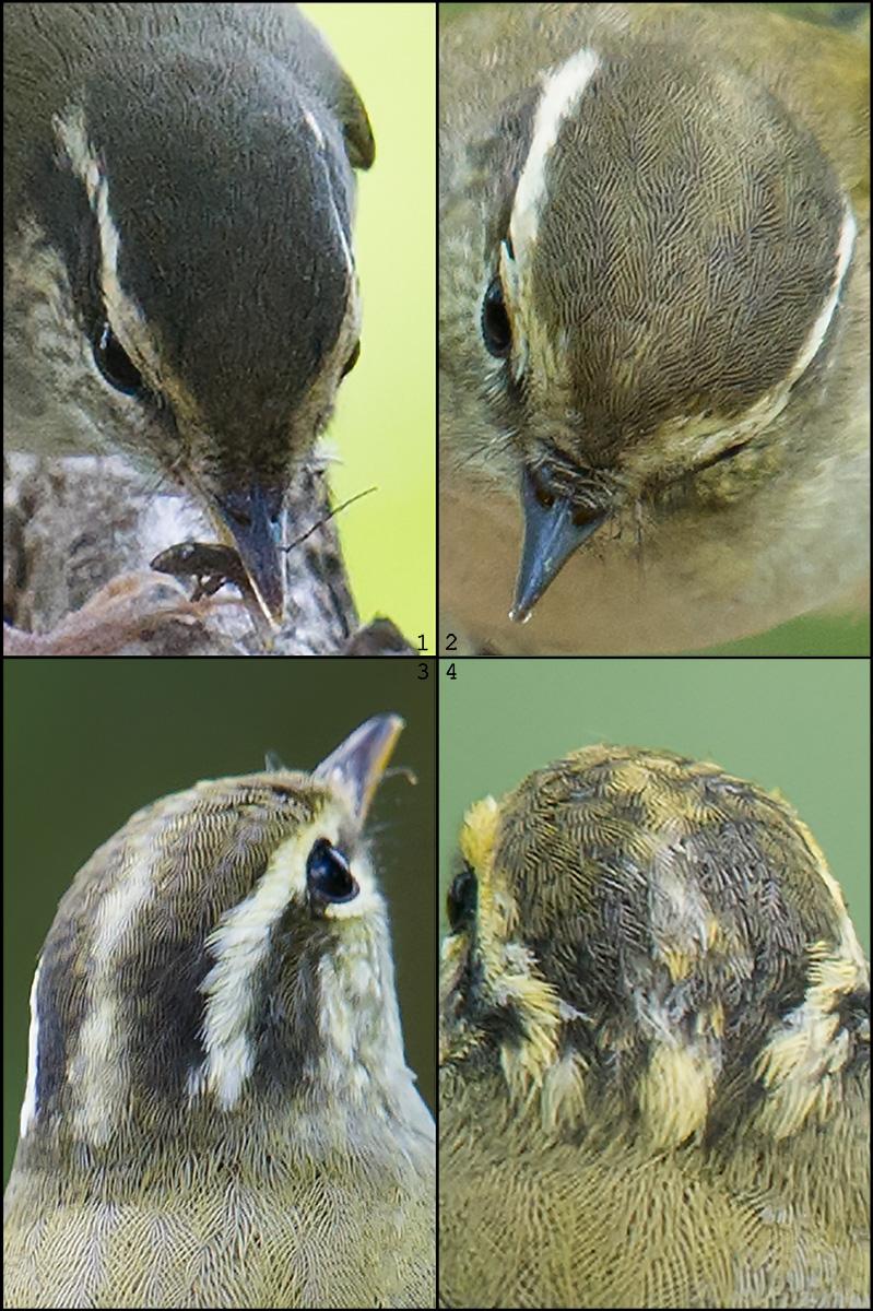 Pale-legged/Sakhalin has no crown stripe.