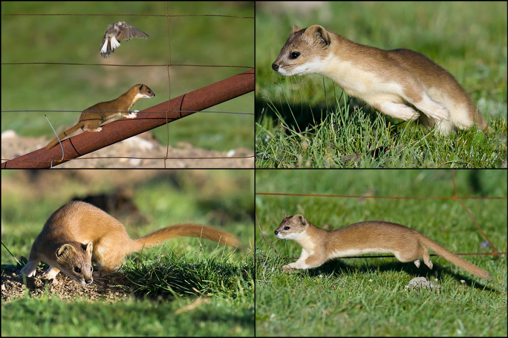 The spectacle of this Mountain Weasel terrifying the poor birds was comical, but we respectfully noted the speed and agility of the carnivore.