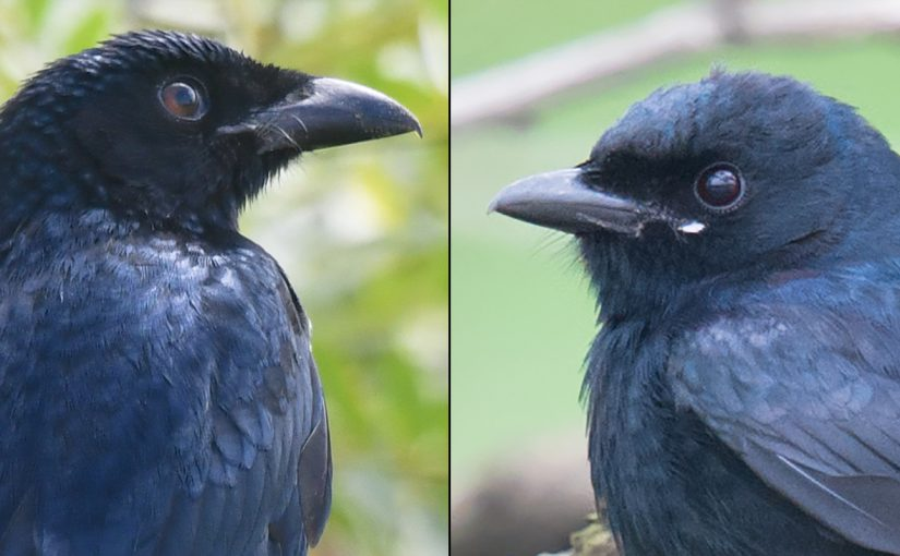 L: Crow-billed Drongo, Nanhui, 11 Oct. 2016. Photo by kaca. R: Black Drongo, Yangkou, Jiangsu, 29 April 2012 (Craig Brelsford). Crow-billed shows a stouter bill than Black.