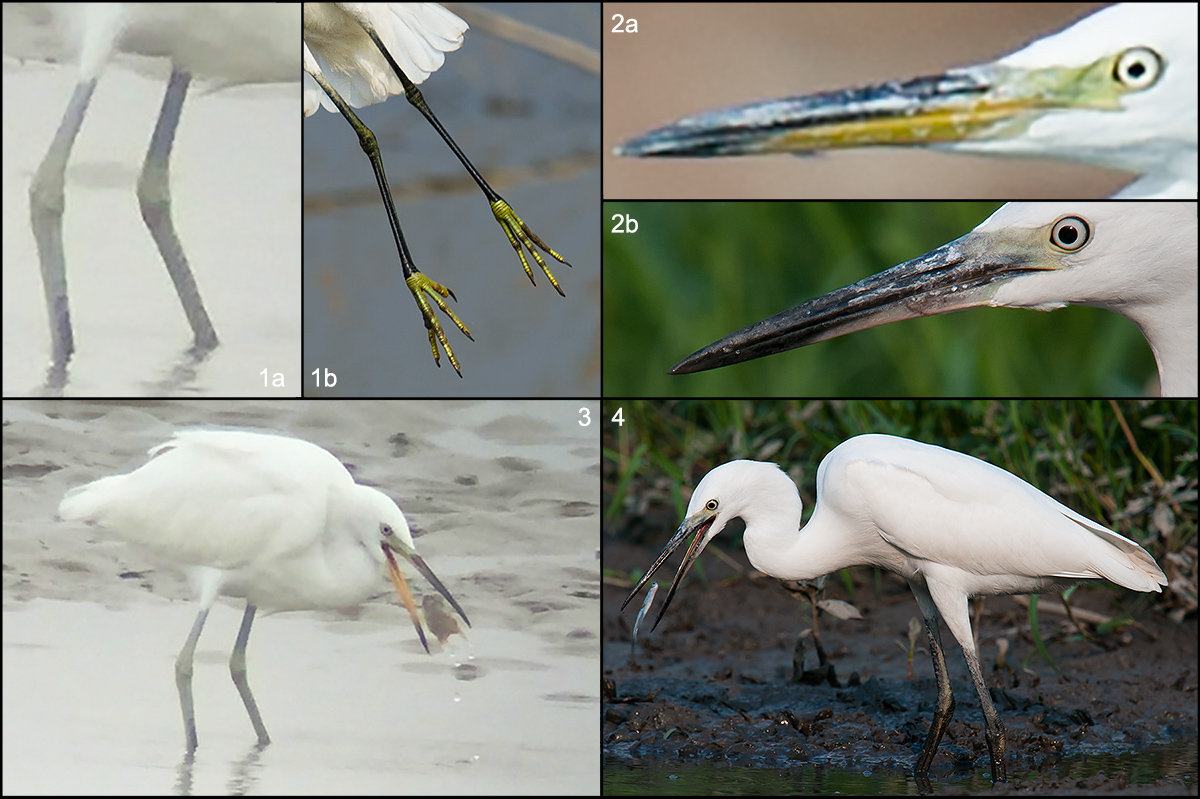Comparison of non-breeding Chinese Egret to non-breeding Little Egret.