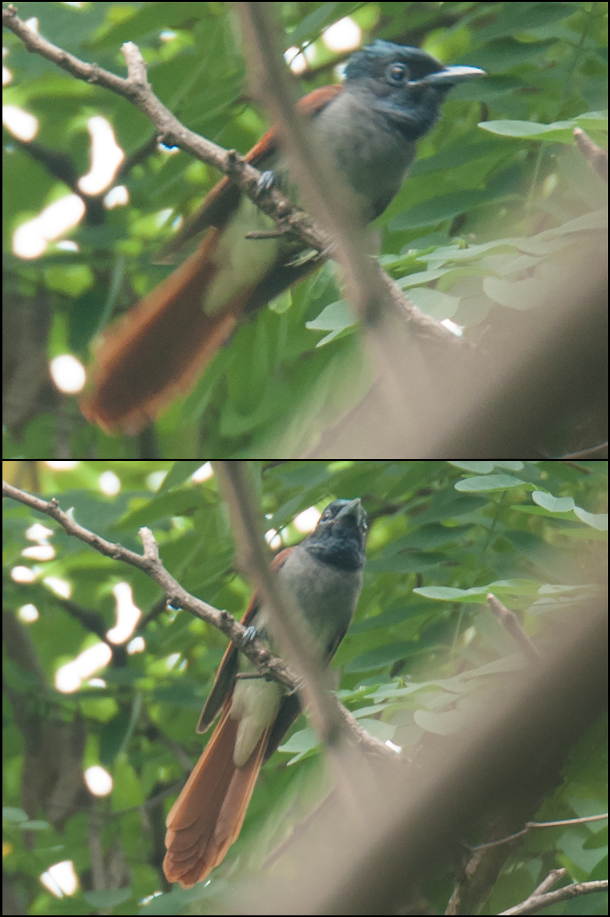 Amur Paradise Flycatcher, Laoshan, Jiangsu, 4 July 2009. Photo by Craig Brelsford.
