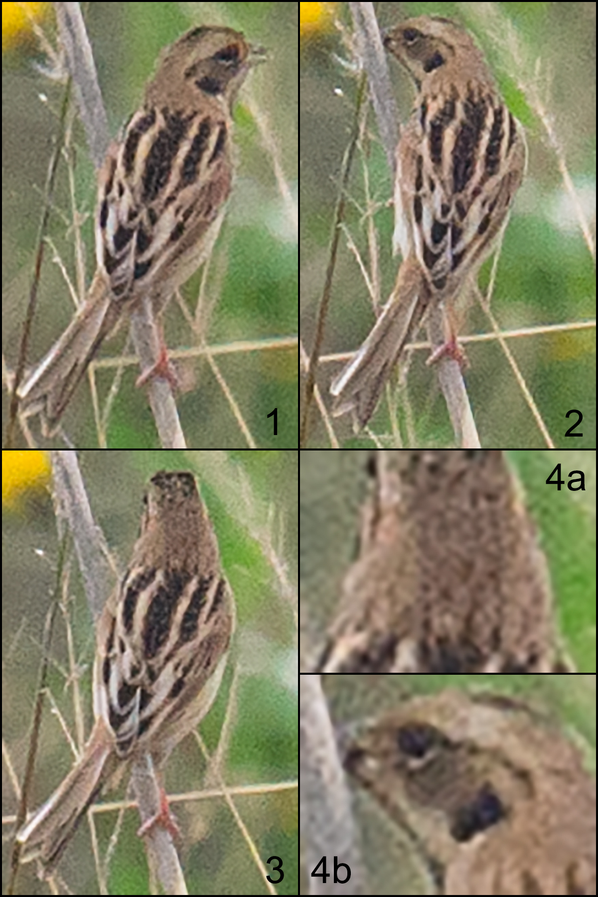 Japanese Reed Bunting Emberiza yessoensis. The IUCN lists it as Near Threatened because of the loss of wetland habitat in its breeding range (which includes Heilongjiang) as well as in its wintering grounds. The continued degradation of the Nanhui coastal marshes is a prime example of the general problems this species faces.