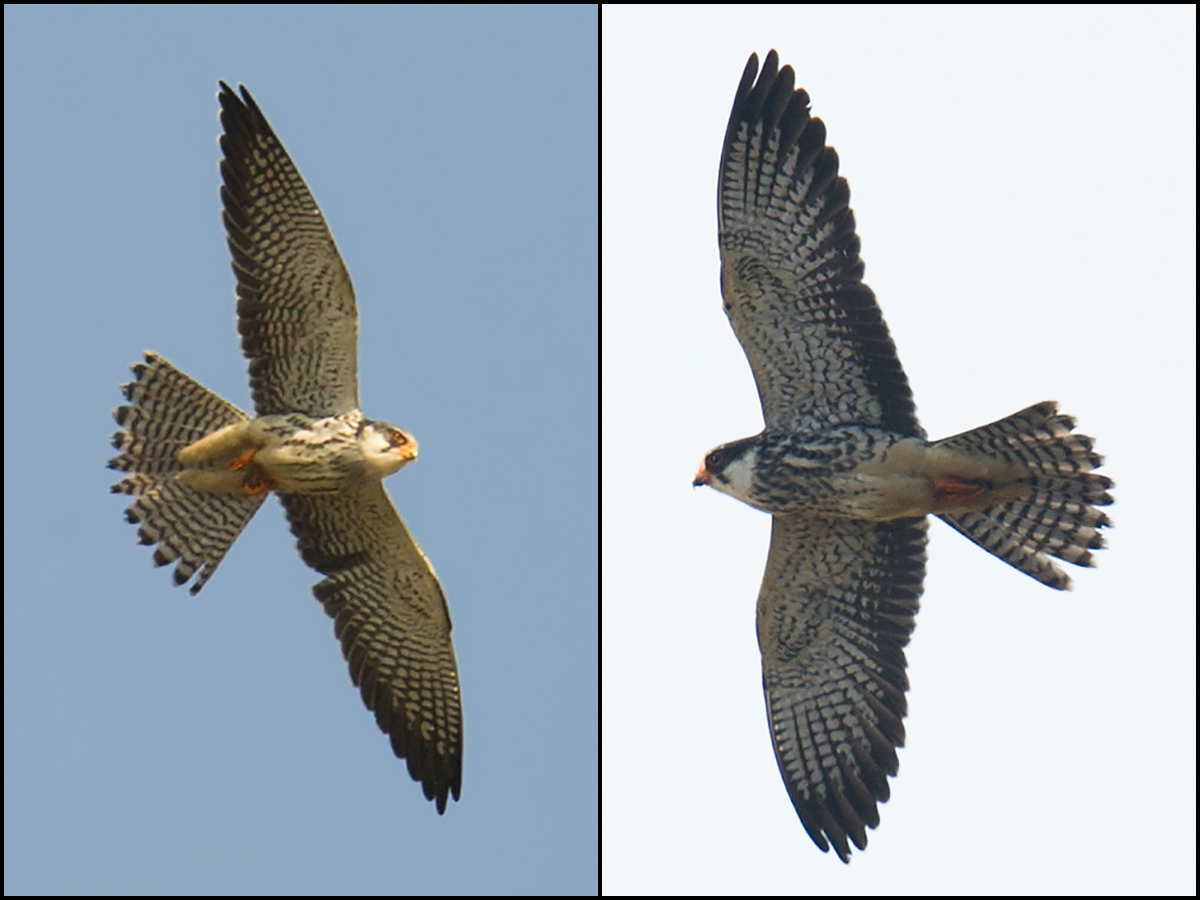 Amur Falcon, 2 of 3 noted by us on 5 Nov. 2016 at Nanhui.