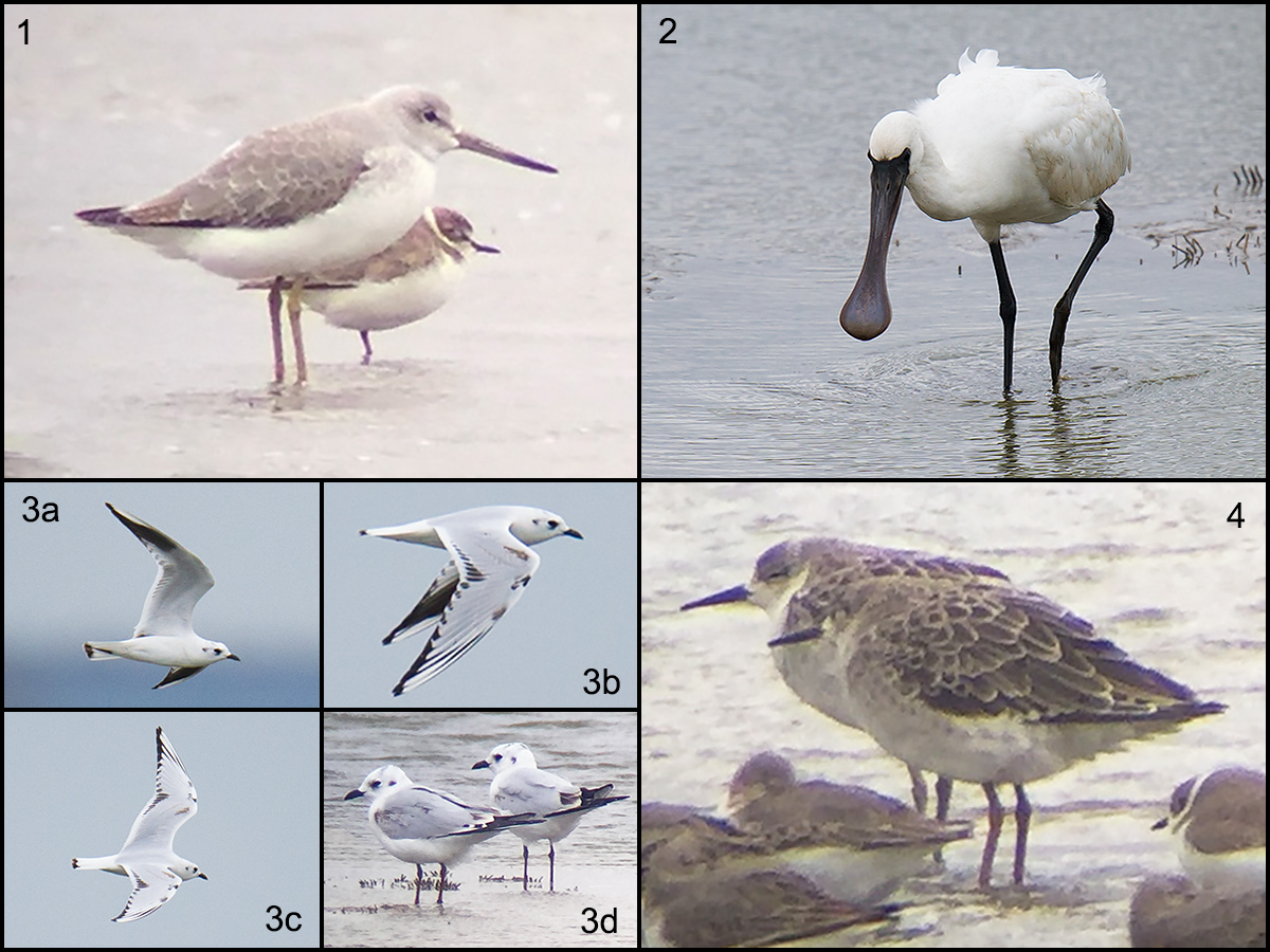 Birds of the defunct nature reserve at Nanhui, 29 Oct. 2016. Panel 1: Nordmann's Greenshank. 2: Black-faced Spoonbill. 3a-3d: Saunders's Gull. 4: Ruff. Photos by Craig Brelsford and Elaine Du.