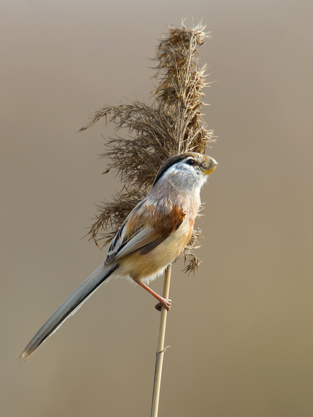 Reed Parrotbill is not a birder's bird but the people's bird. It is a species totally dependent on reeds, a plant that is part of the very fabric of Shanghai.