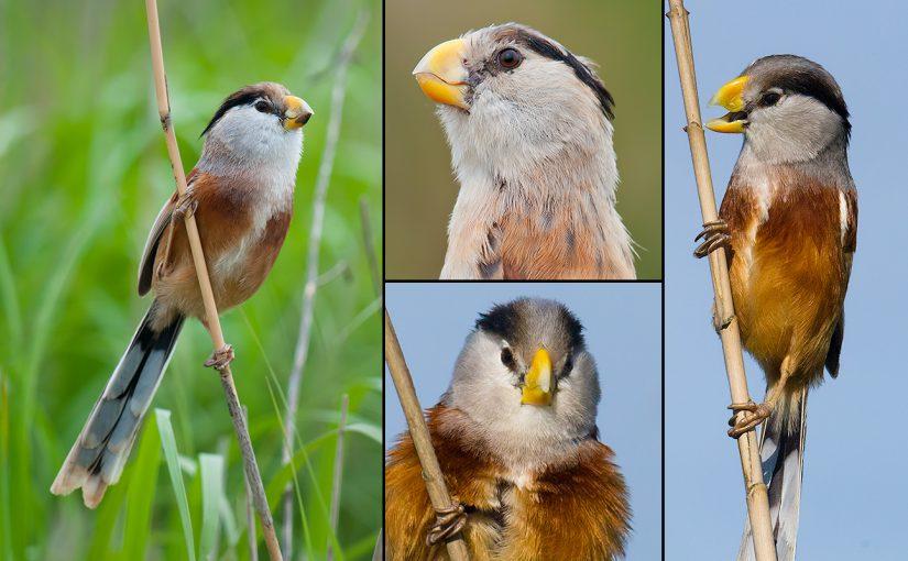 Reed Parrotbill, Symbol of Shanghai