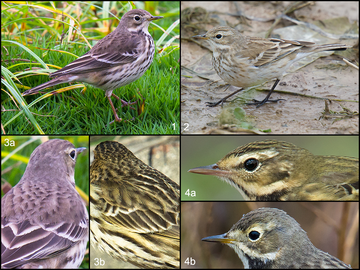 Comparison of Shanghai-area pipits in winter plumage. 1, 3a, 4b: Buff-bellied Pipit. 2: Water Pipit. 3b: Red-throated Pipit. 4a: Olive-backed Pipit. (Craig Brelsford)