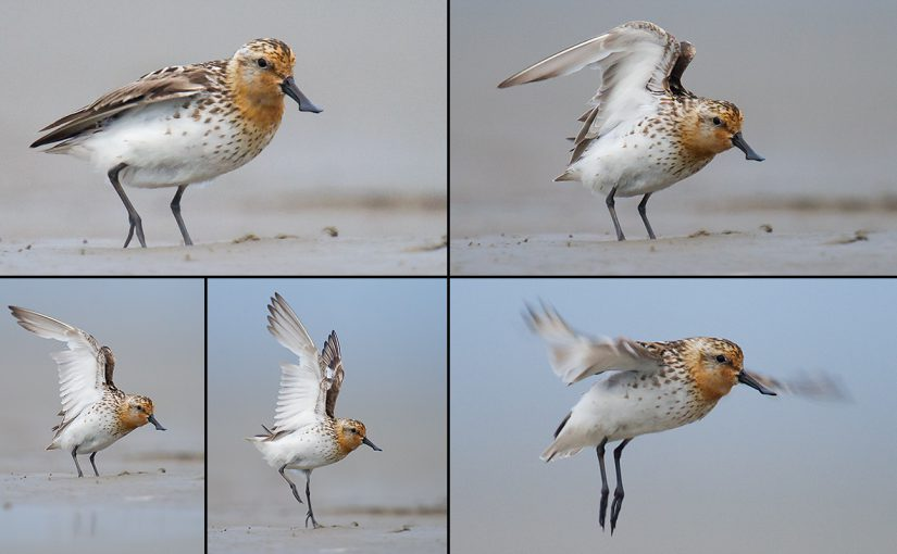Spoon-billed Sandpiper, Yangkou, Rudong, Jiangsu, 23 Aug. 2011. Photos by Craig Brelsford.
