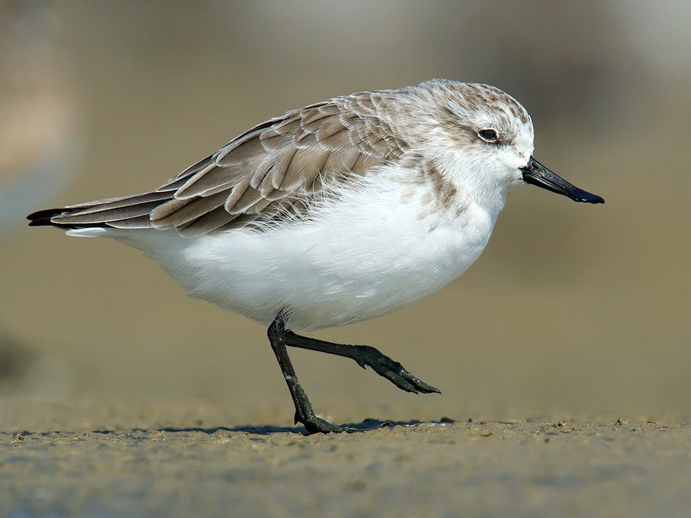 Another look at the winter-plumage SBS of 6 Oct. 2014.